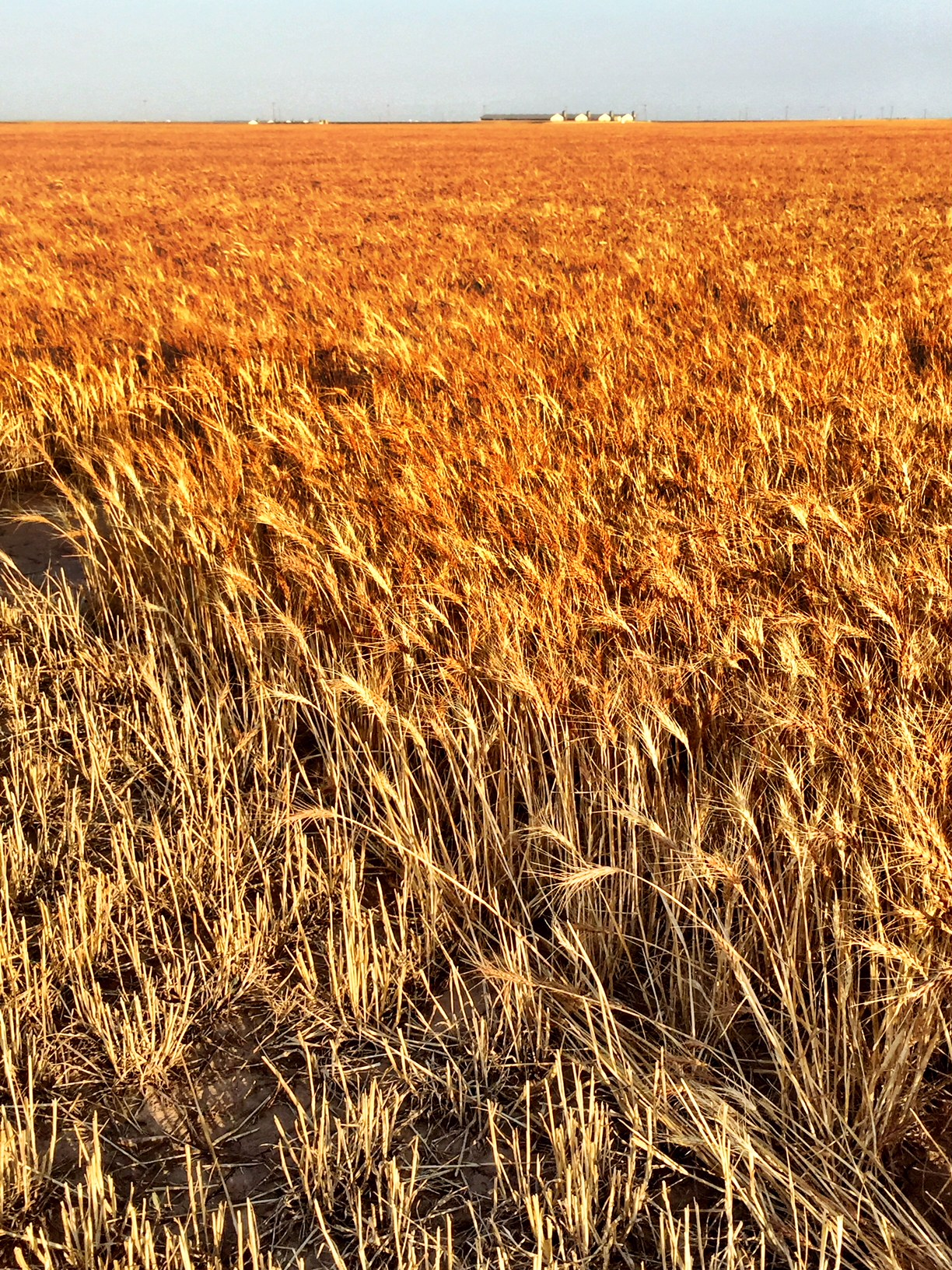 (c) Copyright Renee M. Wilmeth, Wilmeth Farms, Texas Wheat