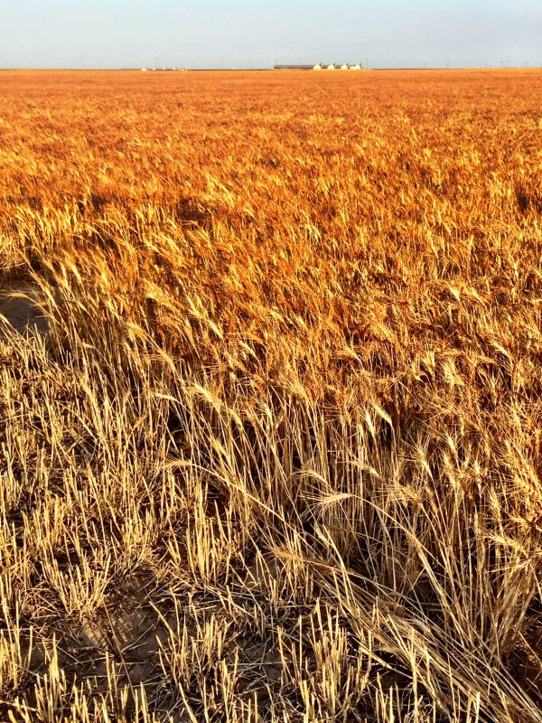 (c) Copyright Renee M. Wilmeth, Wilmeth Farms, Texas Wheat